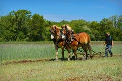 Utkasthästar som plogar fältet Royaltyfri Foto