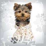 Utklädd Yorkshire Terrier valp som ser kameran Royaltyfri Foto
