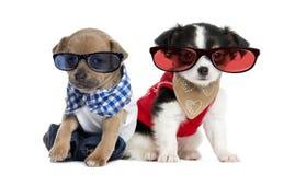 Utklädda Chihuahuavalpar som sitter och bär exponeringsglas Royaltyfria Bilder