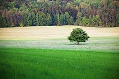 Utmärkt formad i sin helhetblom för kastanjebrunt träd på äng i vårlandskap under enkelt vitt kastanjebrunt träd för dimmig himme fotografering för bildbyråer