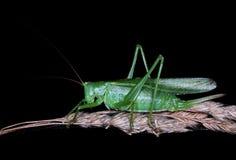 Utmärkt grönt Buske-Cricket Arkivfoton