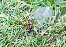 Utmattad honungsbi med sockrade vattenrest på gräset som upplivar den arkivbild