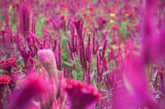 Utomhus- övre trädgårds- bakgrund för rött kinesiskt ullblommaslut, Celosiaargentea L var cristata L Kuntze arkivbild