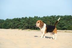 Utomhus- beagle Royaltyfri Fotografi