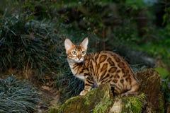 Utomhus- Bengal katt Royaltyfri Foto