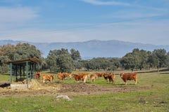 Utomhus- förlagematare- och bergsikter av bruna kor och kalvar arkivfoton