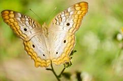Utomhus- fjäril royaltyfria foton