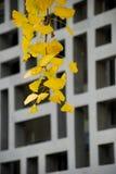 utomhus- gingkoleaf Royaltyfri Fotografi