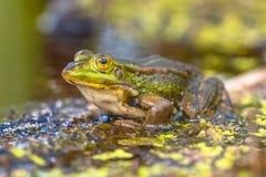 Utomhus- grön groda Royaltyfria Bilder