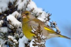 Utomhus- Greenfinch (carduelischlorisen) Royaltyfri Foto