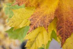 Utomhus- gula, röda och gröna höstsidor i händerna av en flicka arkivfoto