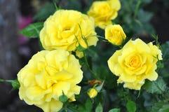 Utomhus- gula rosor, många blommor Arkivfoto