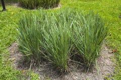 Utomhus- Lemongrass Royaltyfri Fotografi