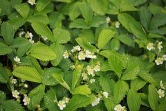 Utomhus- natur för växt för jordgubbeblommaregndroppar Royaltyfri Fotografi