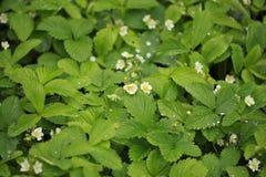 Utomhus- natur för växt för jordgubbeblommaregndroppar Fotografering för Bildbyråer