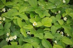 Utomhus- natur för växt för jordgubbeblommaregndroppar Arkivbilder