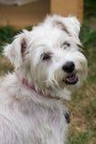 utomhus- schnauzerhund Fotografering för Bildbyråer