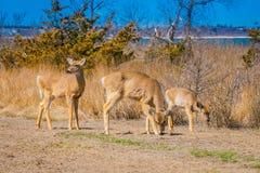 Utomhus- sikt av par av deers som står vid långt gräs i brandön i Long Island Royaltyfria Bilder