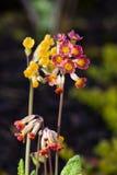 Utomhus- skott för röd och gul blomma, suddig backround Royaltyfria Bilder