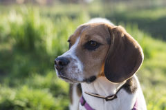 Utomhus- solbelyst för Tricolor beaglehund Arkivfoton