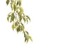 utomhus- solig tree för cyprus dagficus Arkivfoto