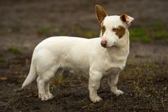 Utomhus- stående av den kraftiga kort-lade benen på ryggen modiga hunden Royaltyfri Foto