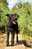 Utomhus stående av en blandad svart hund för gullig Schnauzer på en koppel, med smutsigt och klumpat ihop hår, sparat från gatan arkivfoton
