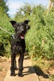 Utomhus stående av en blandad svart hund för gullig Schnauzer på en koppel, med smutsigt och klumpat ihop hår, sparat från gatan royaltyfri fotografi