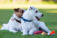Utomhus- stående av två präst Russell Terrier Royaltyfri Foto