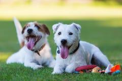 Utomhus- stående av två präst Russell Terrier Royaltyfria Bilder