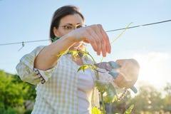 Utomhus- stående för vår av den mogna kvinnan som arbetar i vingård som är kvinnlig med buskar för prunerformdruva arkivfoto