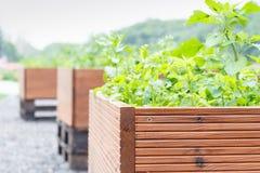 Utomhus- woooden krukor med gröna växter, ut ur fokusbakgrund Royaltyfria Bilder