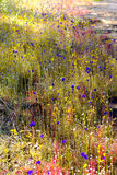 Utricularia bifida and Utricularia delphinoides. Flower blooming in the Mukdahan Nation Park, Thailand stock images