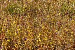 Utricularia zweispaltig und gtass Blume Stockfotografie