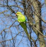 Utrzymania zielony parakeet zdjęcie royalty free