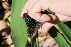 Utrzymuje Brown Motyli Fotografia Royalty Free