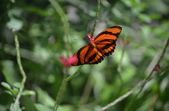 Utsökt mycket liten ek Tiger Butterfly i natur Fotografering för Bildbyråer