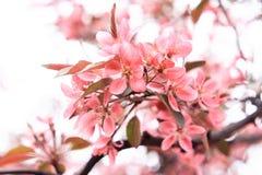 Utsökta försiktigt rosa sakura blommor Royaltyfri Bild