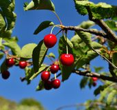 Utsökta mogna körsbär som hänger från trädfilialerna Arkivfoton