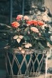 Utsökta rosor i blomkruka på väggen Arkivfoton
