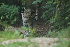 Utsatt för fara amur leopard som vilar på ett träd i naturlivsmiljön Royaltyfria Bilder