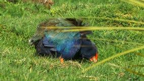 Utsatt för fara flightless Nya Zeeland takahe som matar på gräs royaltyfria foton