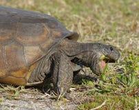 Utsatt för fara goffersköldpadda som söker efter föda på växter - Florida arkivfoton