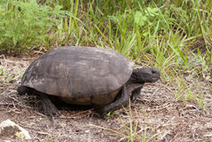 utsatt för fara gophersköldpadda arkivbild
