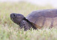 utsatt för fara gophersköldpadda arkivfoton