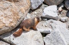Utsatt för fara guling buktad murmeldjur Yosemite Arkivfoton