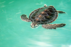 Utsatt för fara gulligt behandla som ett barn sköldpaddan Arkivfoton