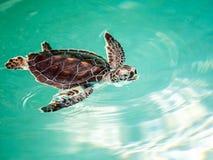 Utsatt för fara gulligt behandla som ett barn sköldpaddan Royaltyfri Fotografi