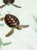 Utsatt för fara gulligt behandla som ett barn sköldpaddor Royaltyfria Foton