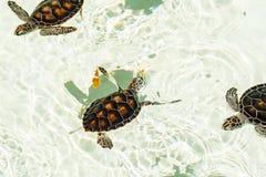 Utsatt för fara gulligt behandla som ett barn sköldpaddor Arkivfoto